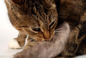 feline_miliary_dermatitis-3