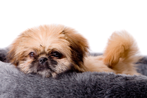 why-dogs-turn-around-before-lying-down