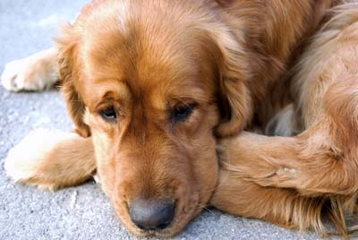 why-dogs-turn-around-before-lying-down1