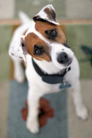 why-dogs-tilt-their-heads