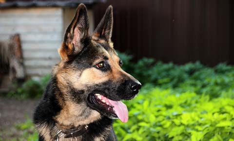 Picture of a German Shepherd Dog outdoors