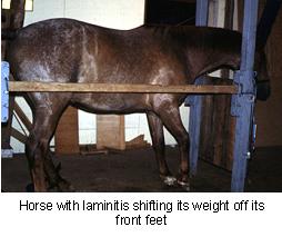 laminitis-2