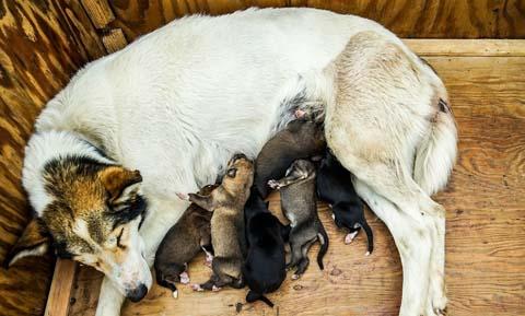 feeding-the-nursing-dog