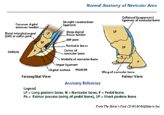 navicular_syndrome-1