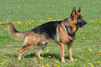 german-shepherd-405503_1280_-_lymphocytic-plasmacytic-gastroenteritis