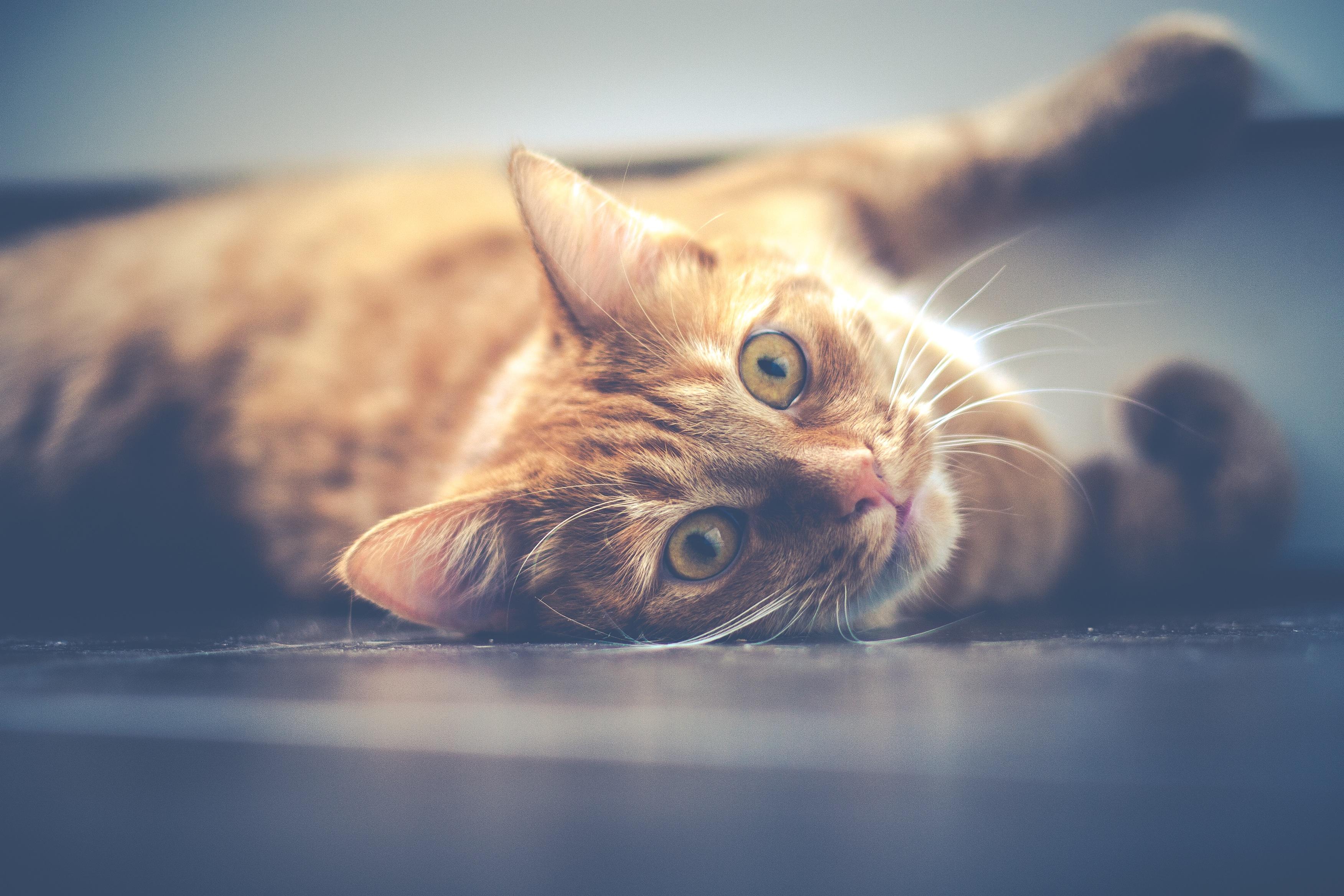 abscess_cat