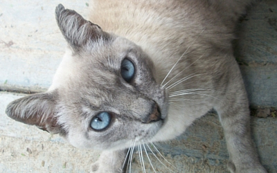 cyanosis_in_cats