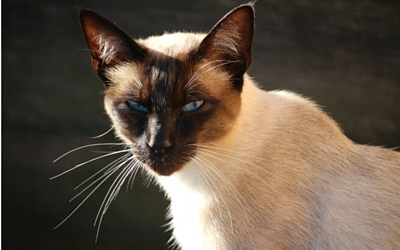 amyloidosis_in_cats
