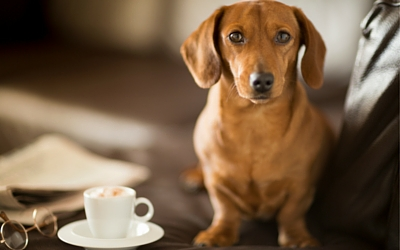 caffeine_toxicity_in_pets