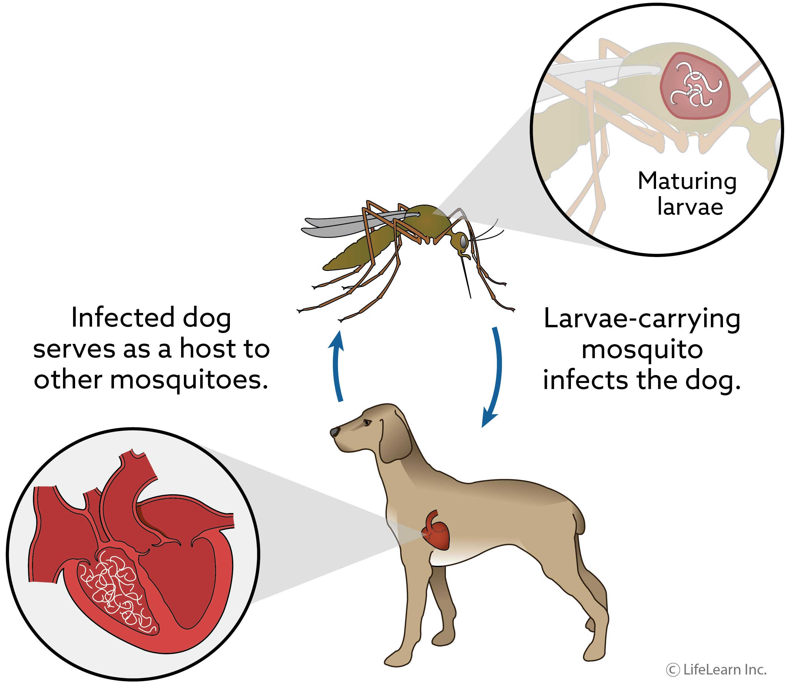 dog-heartworm_updated_2017_1-01