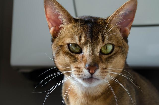 abyssinian-cat-1705659_640
