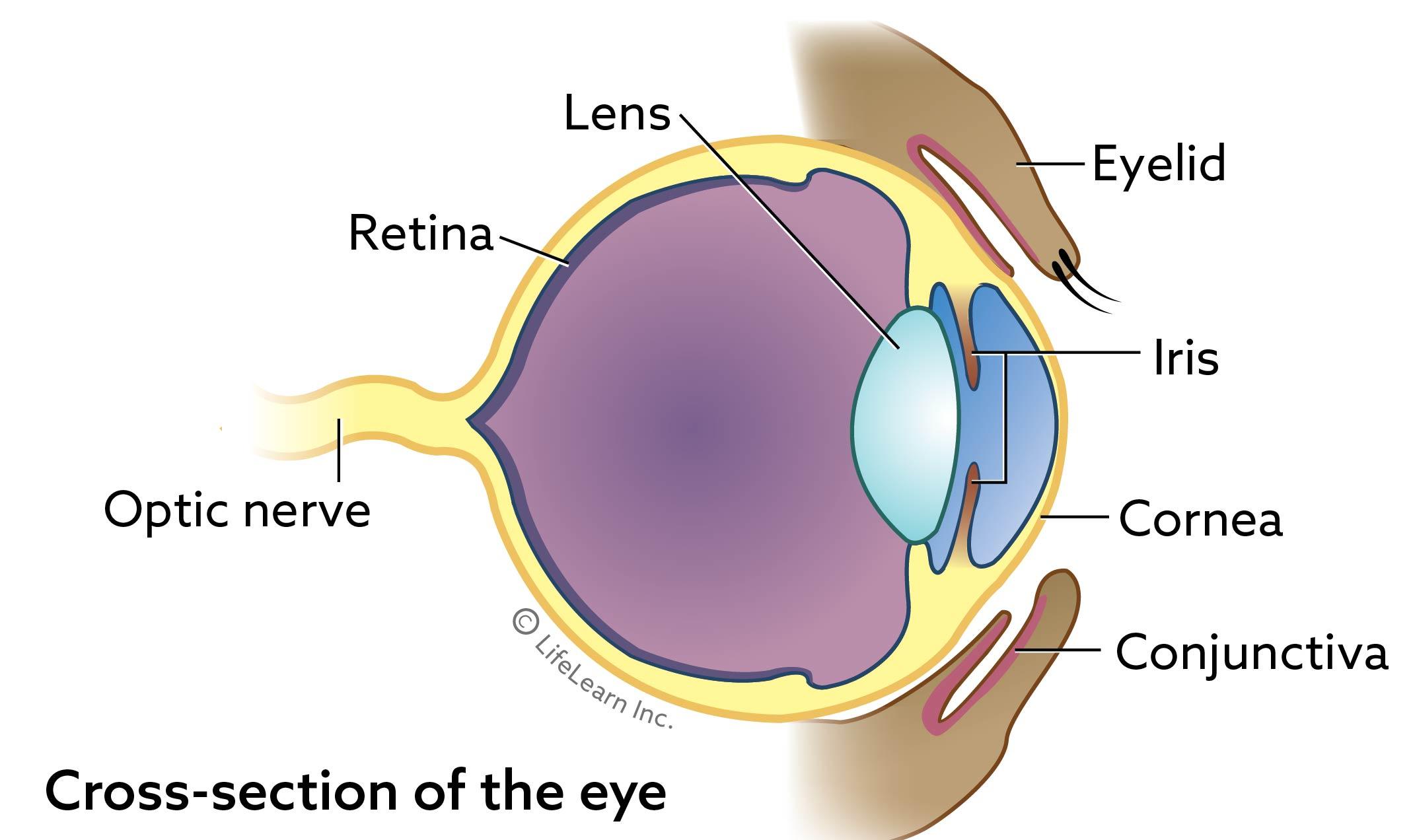 eye_basic_cross_section_2017-01