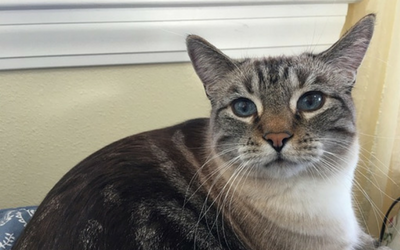 cat_-_pituitary_macroadenoma
