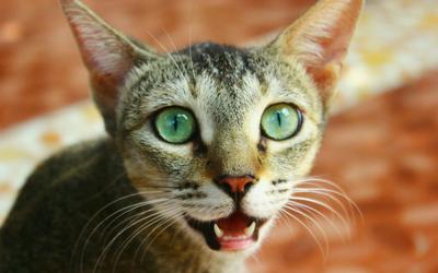 feline_alveolar_osteitis