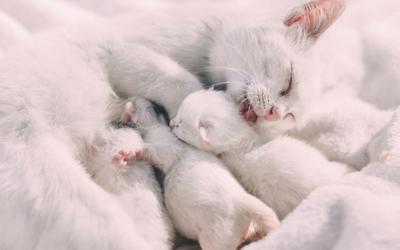 mastitis_in_cats