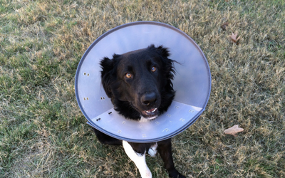 post-op_recovery_dog