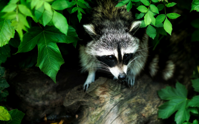 raccoon_rabies