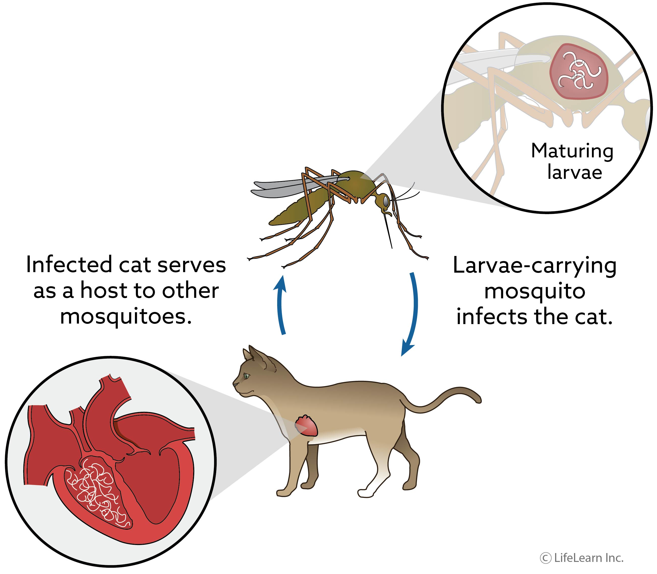 cat-heartworm_updated-01