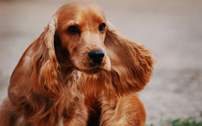 cocker_spaniel_lacrimal_duct_obstruction