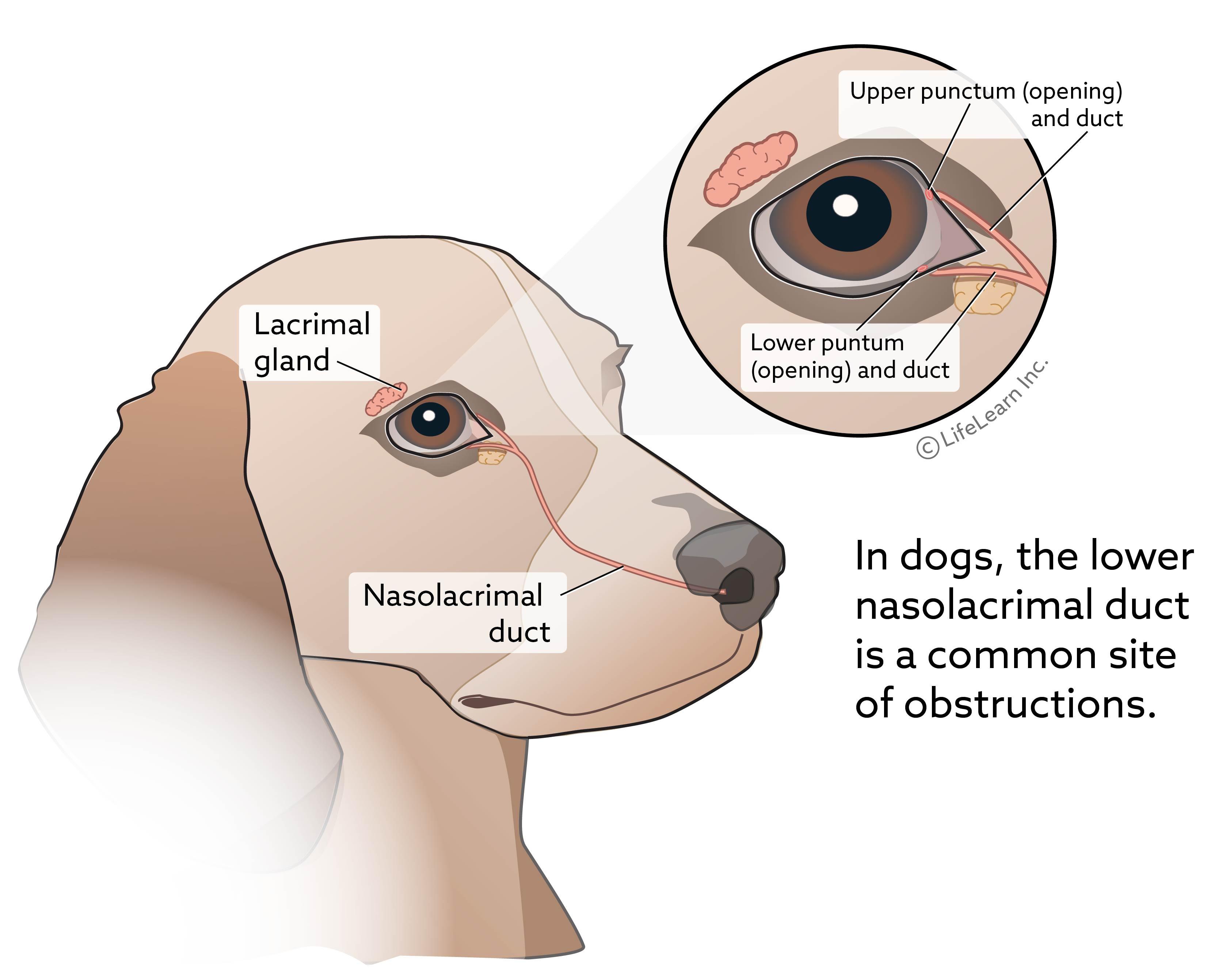 eye_lacrimal_gland2_dog_2018-01