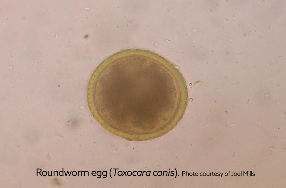 toxocara_canis_roundworm_egg