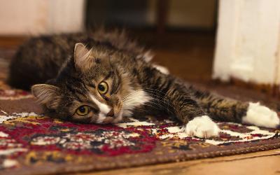 cat_carpet