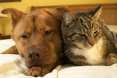 cognitive_dysfunction_in_dogs_and_cats_2