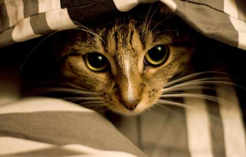 fears_and_phobias_in_cats_2