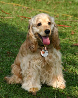 dog_-_cocker_spaniel_2