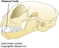 retained-teeth-cat
