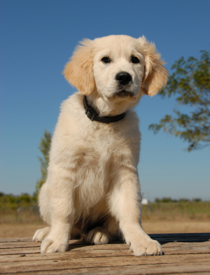 puppy__training_sit_down_stand_and_stay