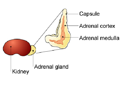 adrenal_cortex_tumors-1