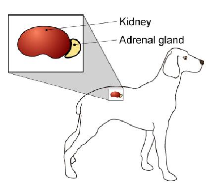 adrenal_medulla_tumors-1