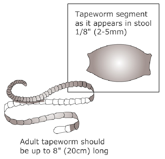 tapeworm infection 1 Worms and Internal Parasites in Cats