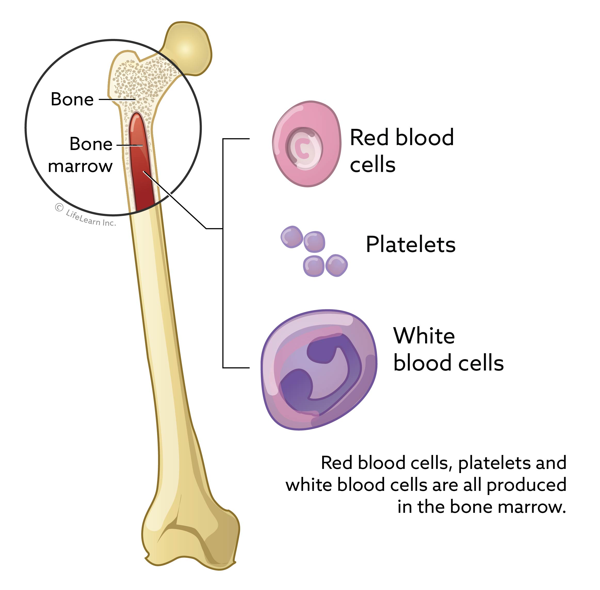 blood_cells_from_bone_2018-01