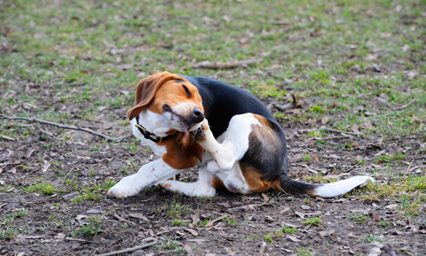 itchy-beagle