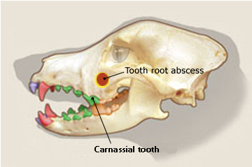 tooth_root_abscess_in_dogs_2