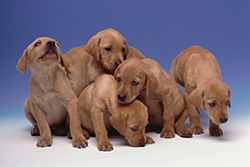 breeding7-growing_puppy_lactation_and_weaning-1