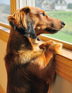 ansiedad-por-separacin-en-perros-2