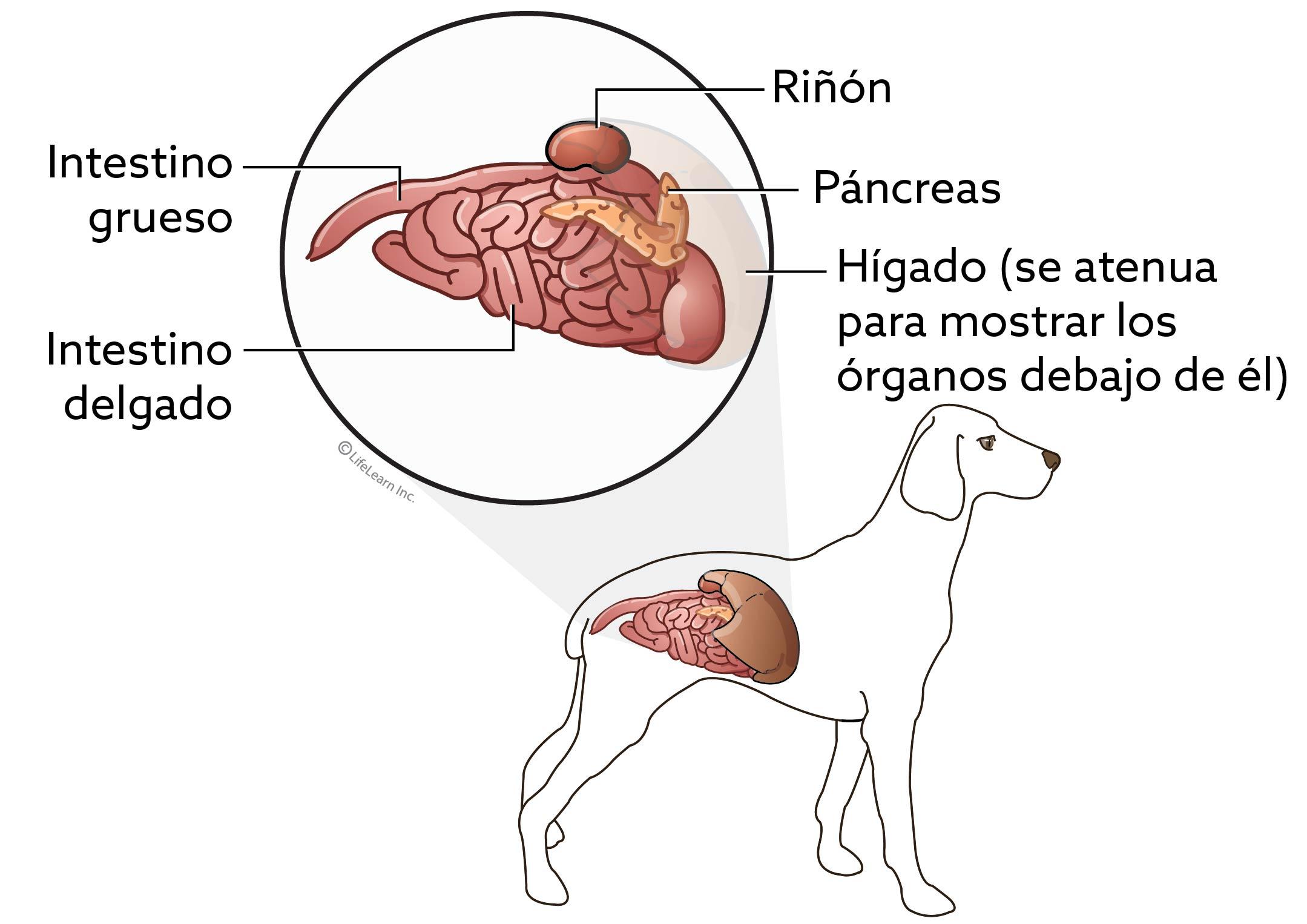 dog_loweranatomy_spanish_2017-01