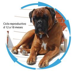 prevencin-del-celo-y-anticoncepcin-en-la-perra-2