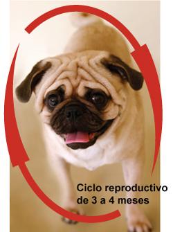 prevencin_del_celo_y_anticoncepcin_en_la_perra