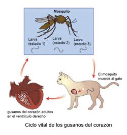 enfermedad_del_gusano_del_corazn_en_gatos