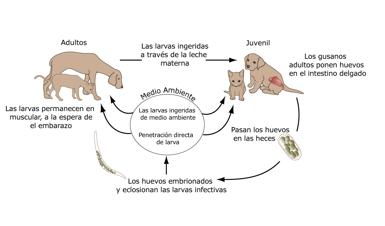 gusanos_gancho_en_los_gatos-3