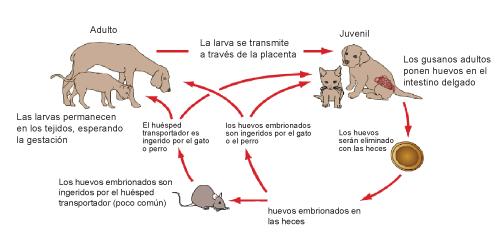 infeccin-por-gusanos-redondos-en-gatos-5
