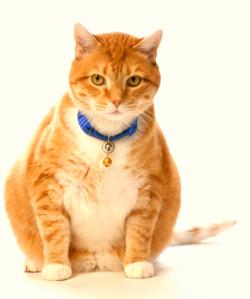 obesidad-cat-1