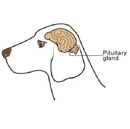 pituitary_tumors-1