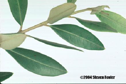 olive_leaf-1