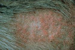 alergia__dermatitis_alrgica_por_pulgas_en_perros