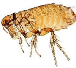 alergia__dermatitis_alrgica_por_pulgas_en_perros_3